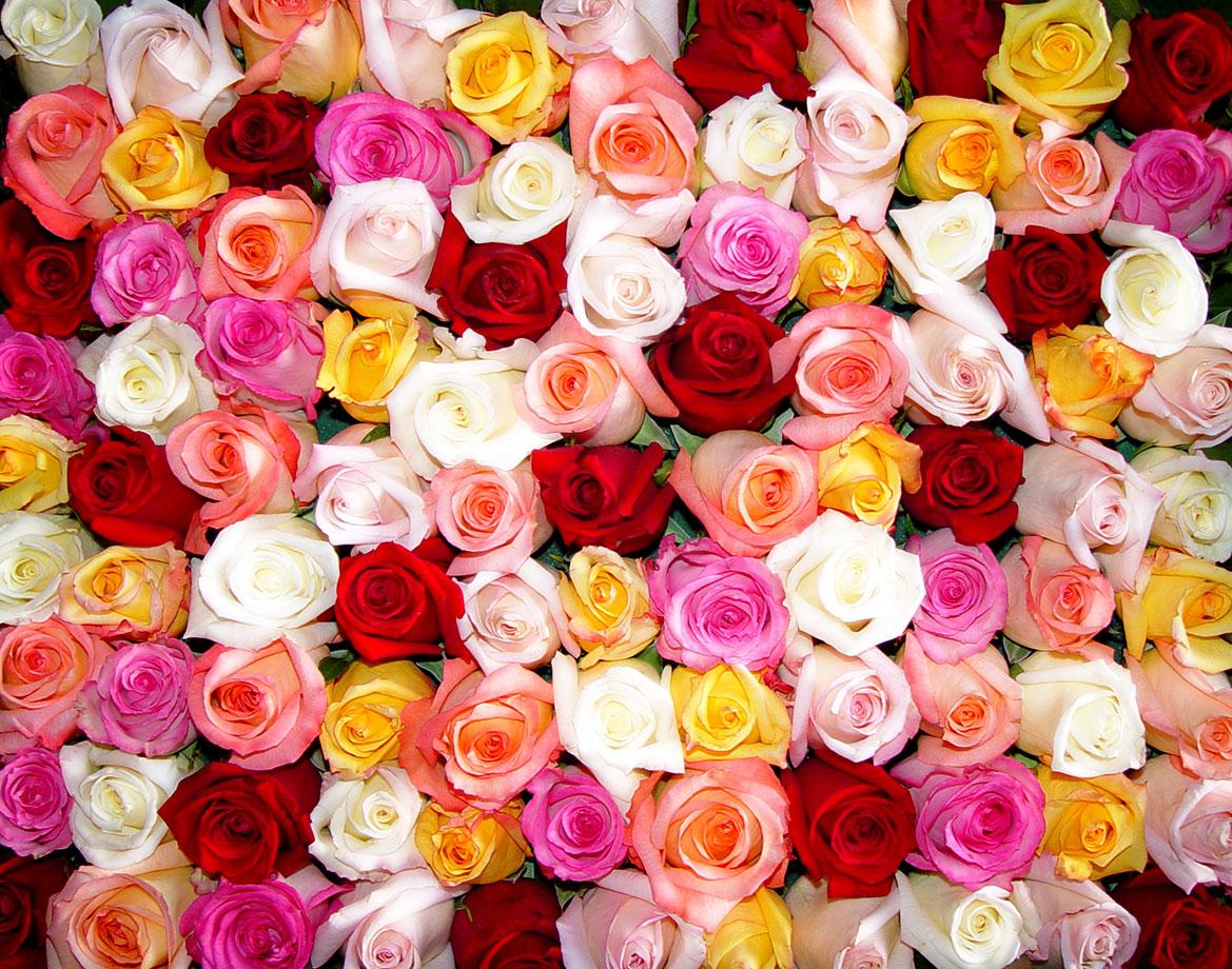 roses-ready